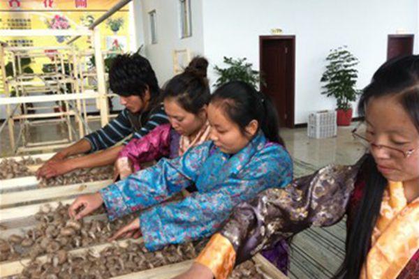 藏紅花人工繁育種植技術在西藏首獲成功