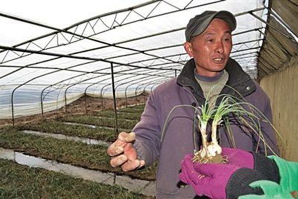 西藏种植的藏红花