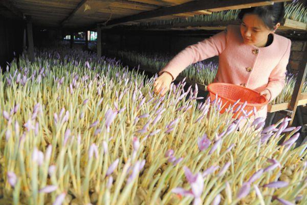 浙江溫嶺農民成功引種藏紅花