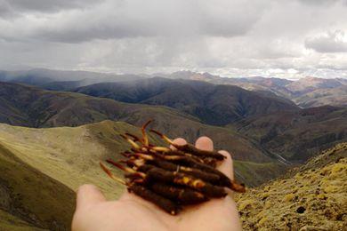 近期西藏多地迎来采挖虫草最佳季