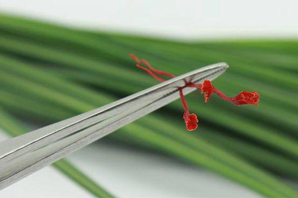 藏红花花丝细节图可以清楚的看出花丝顶端的喇叭口膨大