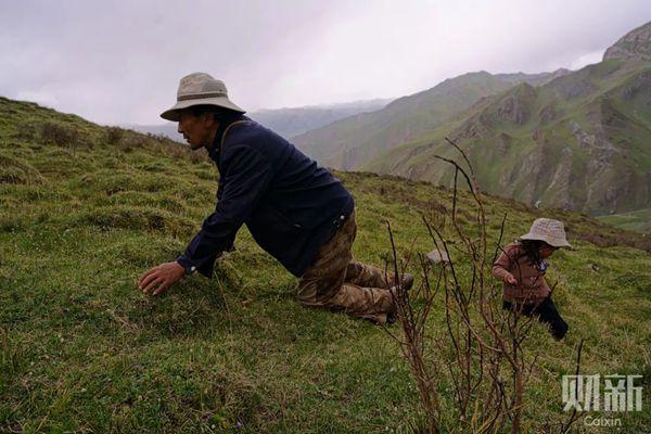 索南其美带着四岁的女儿正在海拔4500米处寻找虫草