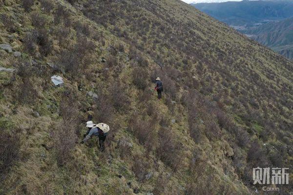 在海拔5000米处寻找虫草的牧民
