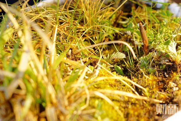 一棵野外挖来的养育在花盆中的虫草
