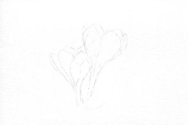 刻画番红花的外部轮廓