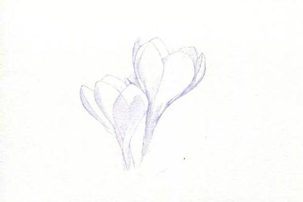 将番红花花朵的暗部颜色刻画出来