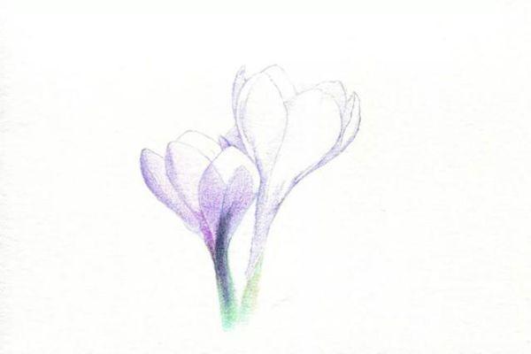 叠加画番红花的茎部颜色