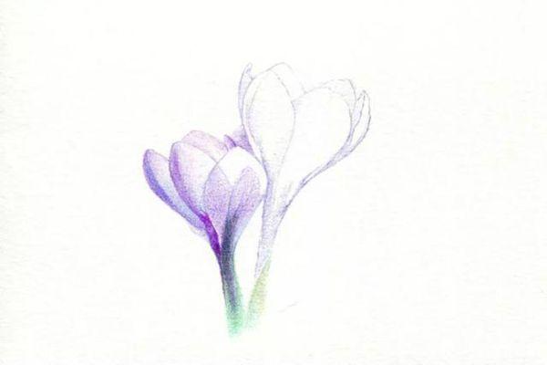刻画番红花中间花瓣的明暗交界线
