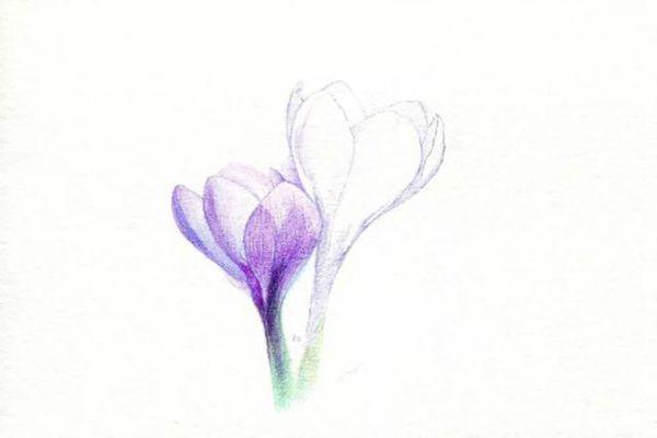 把番红花花瓣上面的纹路刻画出来
