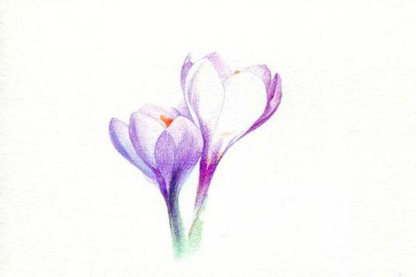 把番红花花瓣的暗部颜色刻画出来