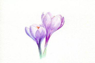 番紅花怎么畫?手繪兩朵美麗卻不嬌艷的番紅花