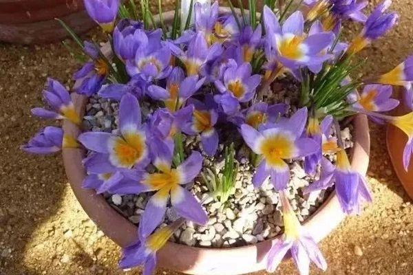 盆栽紫色番红花