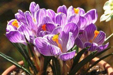 想要在花盆里种番红花 这几个小技巧要掌握好