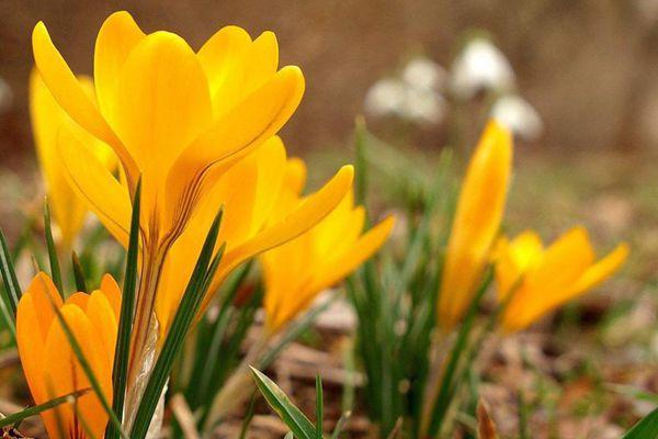 盛开的黄番红花