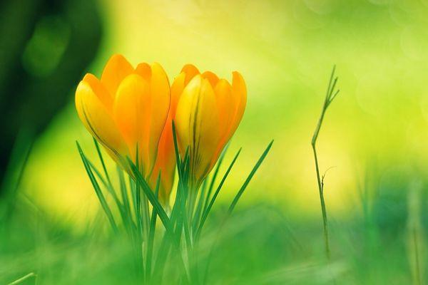 草丛中盛开的黄番红花