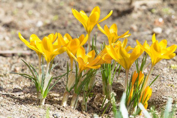一丛黄番红花