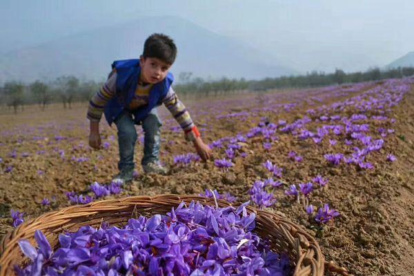 伊朗田间盛开的藏红花