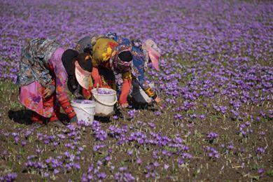 伊朗的藏紅花產業(上)