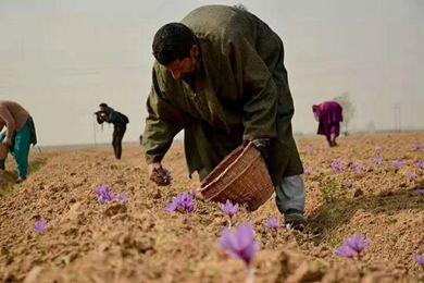 伊朗占世界藏紅花總產量的90%