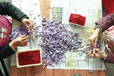 浙江省建德市三都镇自上世纪80年代开始引进西红花种植成为农家的致富花