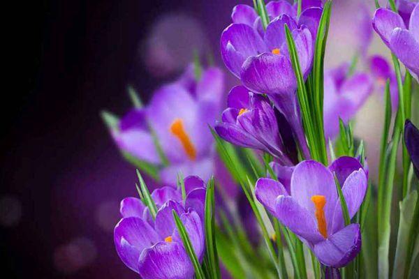 紫色番红花