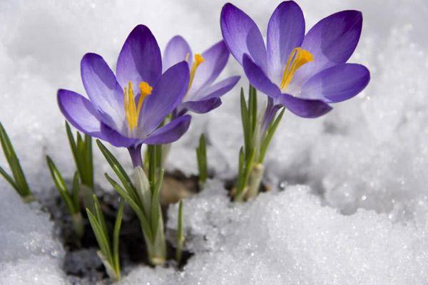 雪中盛开的番红花
