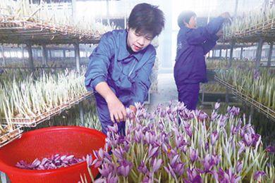 上海崇明區西紅花上市助農民增收