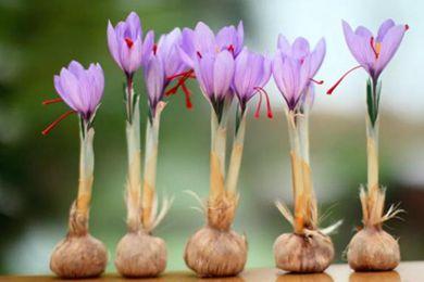 上海嘉定成功引种的藏红花进入盛花期