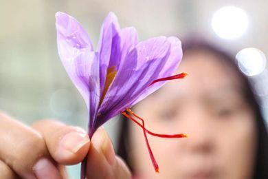三年试种 上海嘉定种植的藏红花迎来盛花期