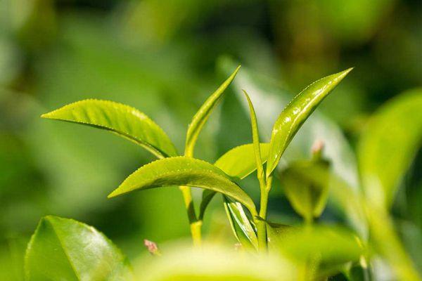 藏红花不能与茶叶一起喝