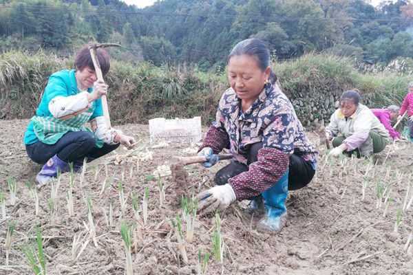 锦屏县平略镇岩寨村藏红花中药材种植基地