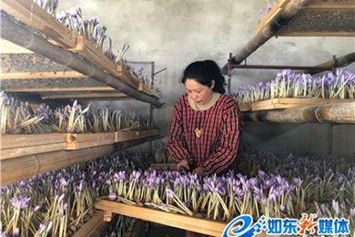藏紅花綻放在江蘇省南通市如東縣河口鎮花園頭