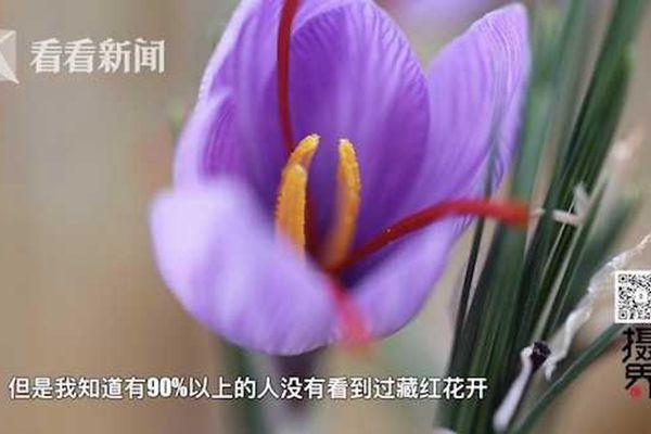 我国最大的藏红花种植地竟在上海崇明