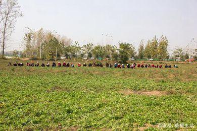 安徽省亳州市大户种植藏红花30年 每亩毛收入2万
