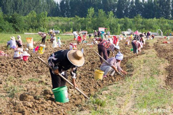 工人们正在挖藏红花球茎