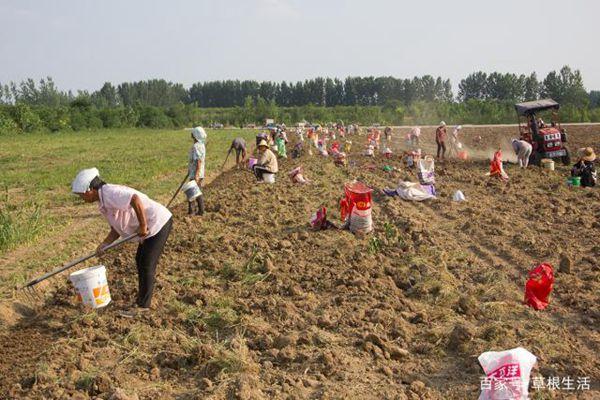 挖藏红花球茎和耕地