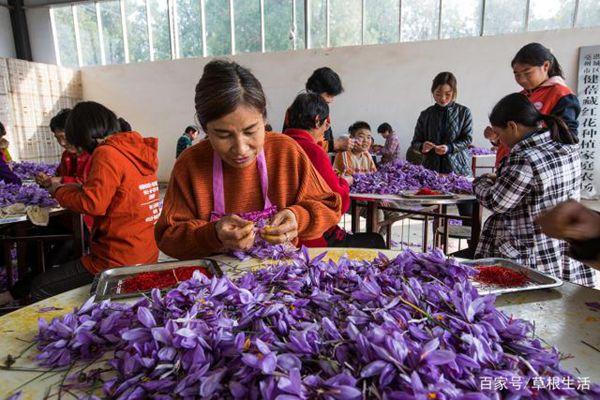 工人们正在剥取藏红花花丝