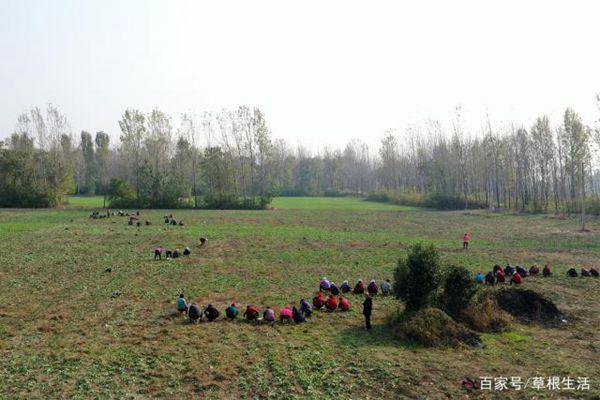 工人们在藏红花田里除草