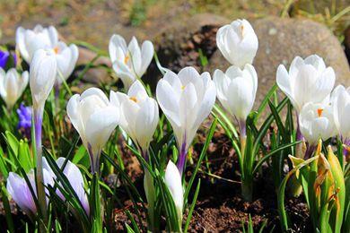 白番红花是什么样的