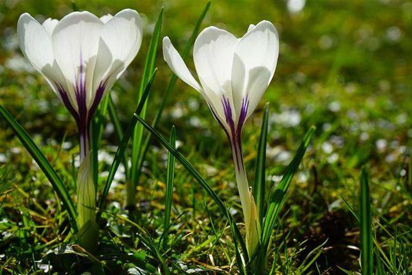 兩株白番紅花