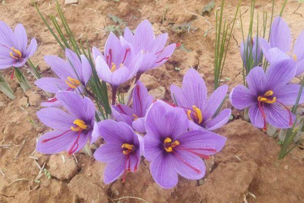 露地(盆栽)种植藏红花8-10月份栽种