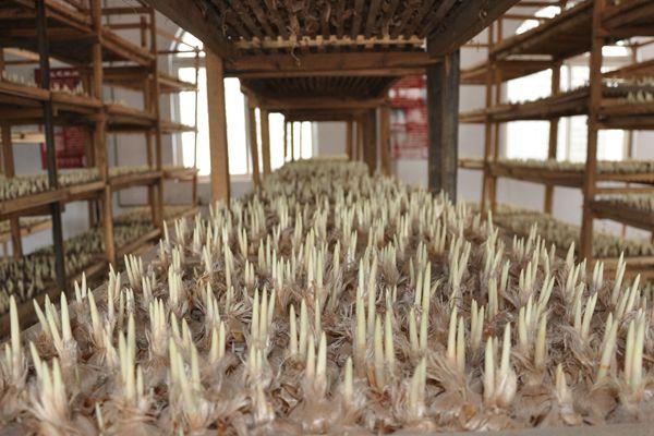 室内采收种植藏红花11月中下旬栽种