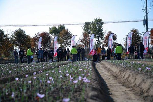 藏红花采摘活动现场