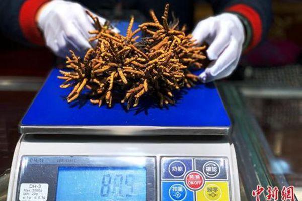 西宁某冬虫夏草销售商铺内正在称量冬虫夏草