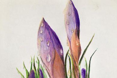 繪畫帶水滴的番紅花花苞