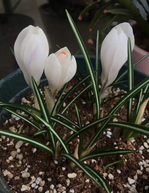 白色番红花