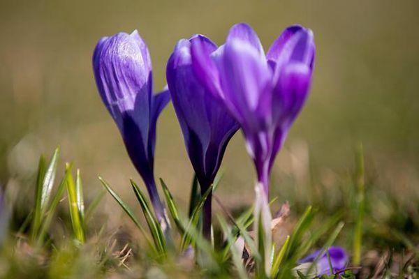 三朵紫色的番红花