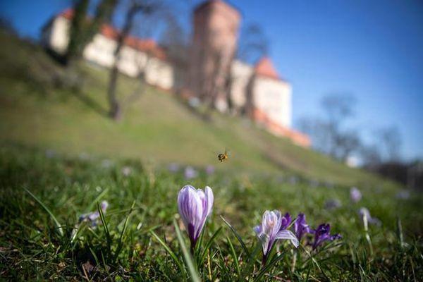 番红花和蜜蜂