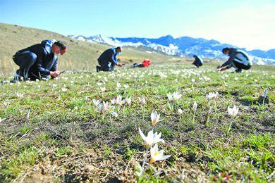 新疆的白番红花开了
