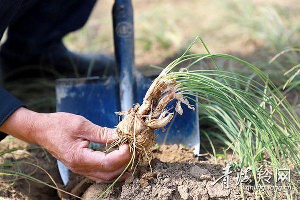 青海民和县试种的0.27公顷藏红花全部成活